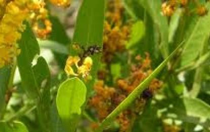 Como criar colônias de abelhas sem ferrão para uso na polinização