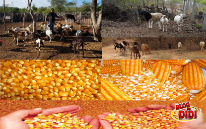 Seca reduz milho na PB e preços ficam mais caros
