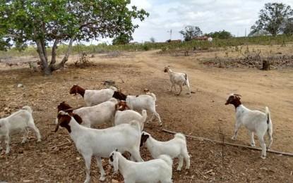 Pesquisa da Emepa impulsiona a produção de caprinos e ovinos no Semiárido
