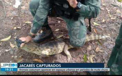 Jacarés são capturados na zona urbana de João Pessoa